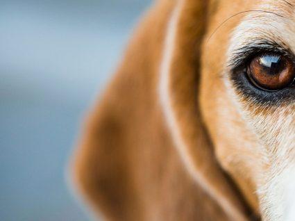 Entropion em cães e gatos: saiba em que consiste este problema