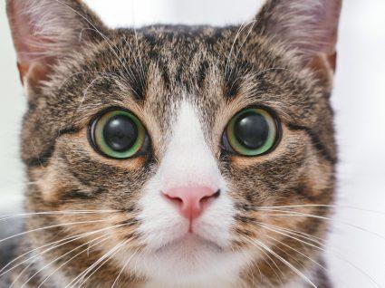 4 tipos de ácaros em gatos: conheça os mais comuns