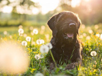 5 tipos de ácaros nos cães mais perigosos