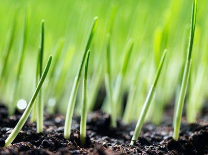 Shots de erva trigo vão fazê-lo mais saudável?