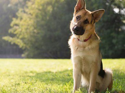 6 problemas de saúde de raças de cães de grande porte