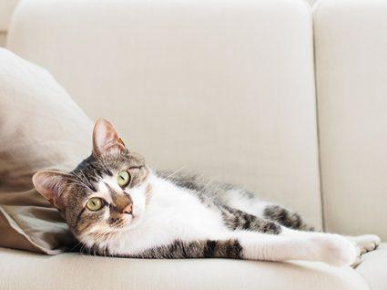 A sua gata está com o cio? Isto é o que precisa de saber