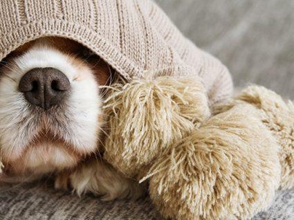 A sua cadela está com o cio? Isto é o que precisa de saber