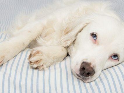 5 doenças parasitárias em cães que deve conhecer