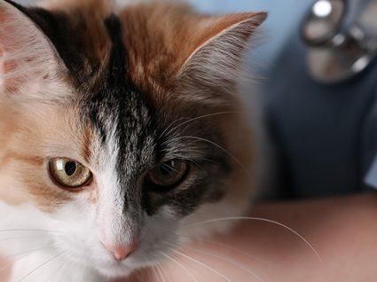 6 doenças parasitárias em gatos