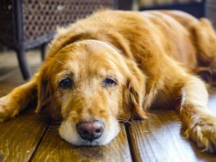 Cão sénior: cuidados e como otimizar o tempo de vida