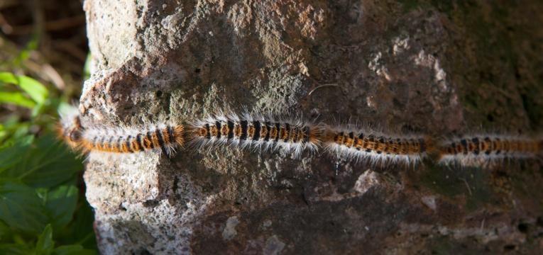 lagarta em tronco de pinheiro
