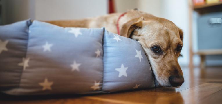 Gravidez psicologica em cadelas e cadela triste no ninho