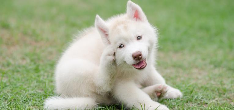 comichao na orelha e otite canina
