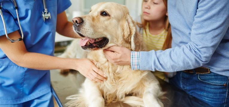 displasia da anca nos caes consulta no veterinario