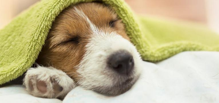 dirofilariose canina cao em repouso