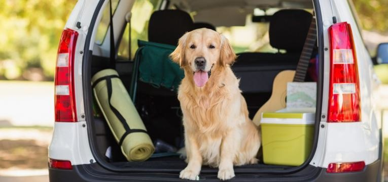 transporte de caes em automoveis cao na mala do carro