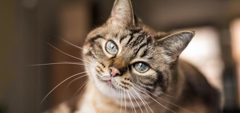 diabetes em gatos gato a olhar