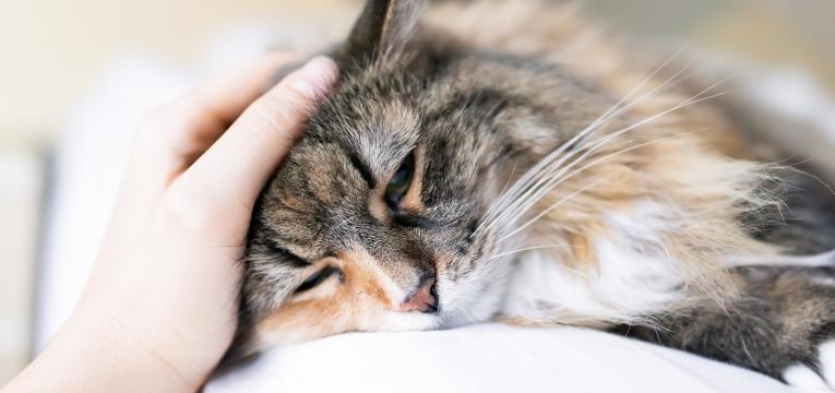 diabetes em gatos gato doente