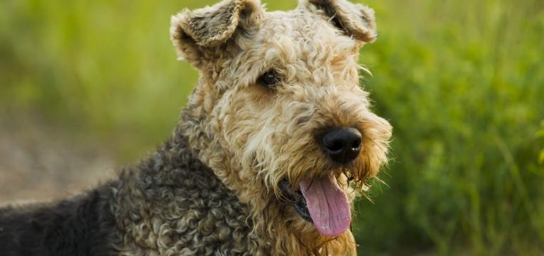 Terriers Airedale Terrier