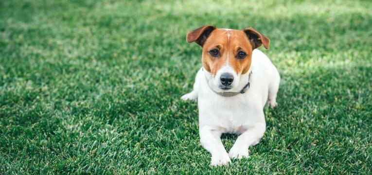 Terriers Jack Russel Terrier