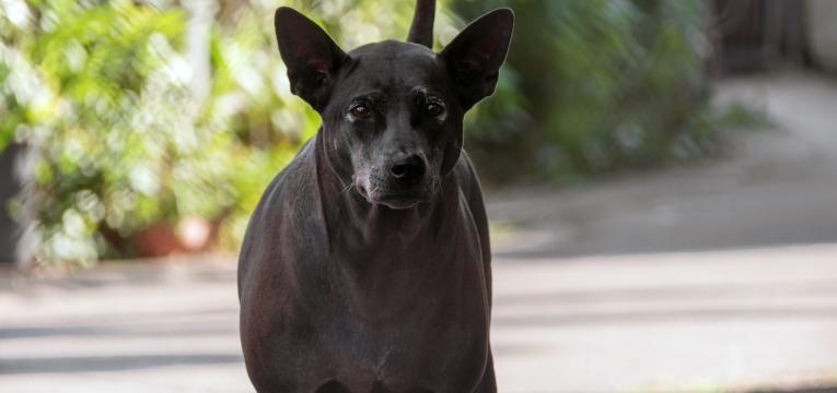 Caes tipo spitz e do tipo primitivo Thai Ridgeback Dog