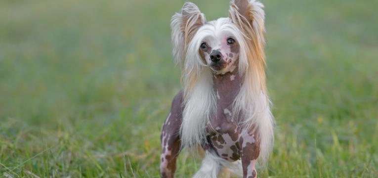 caes de companhia e toy chinese crested dog