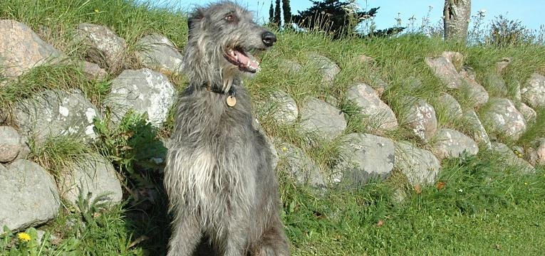 Galgo Scottish Deerhound