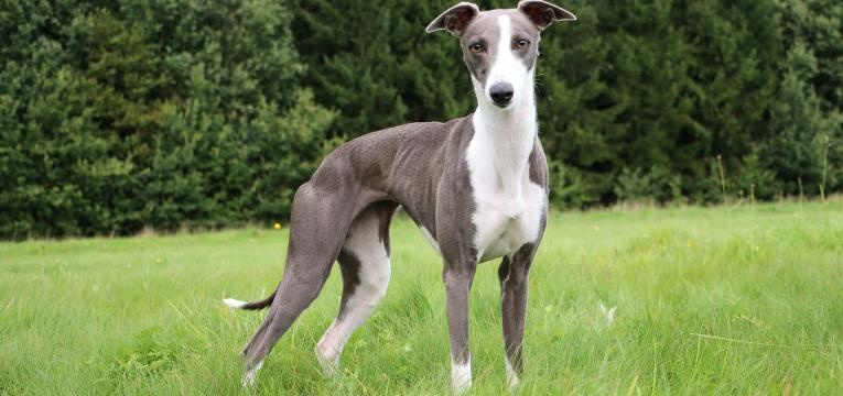 Galgo Whippet