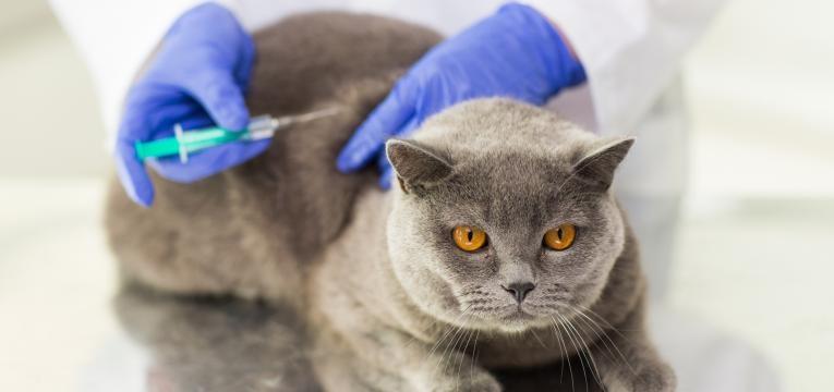 calendario de vacinacao dos gatos FIV