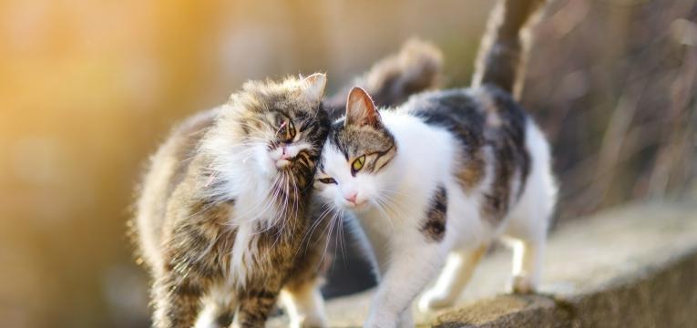 feromonas para gatos feromonas felinas