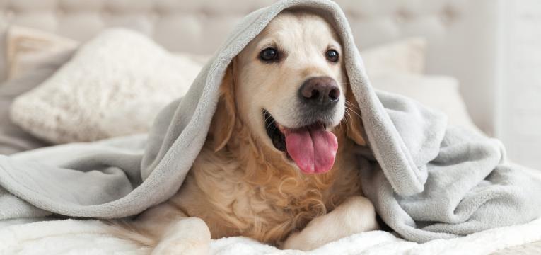 gravidez psicologica em cadelas cadela na cama