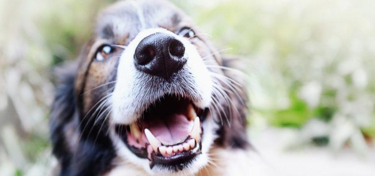 gravidez psicologica em cadelas cadela feliz