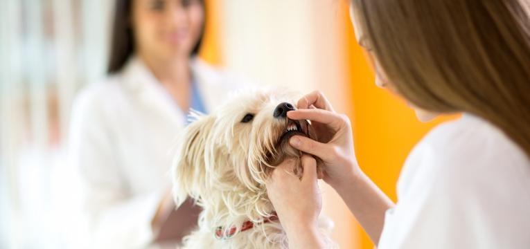 tartaro em caes veterinaria a ver dentes