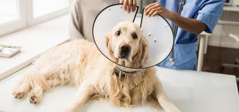 gravidez psicologica em cadelas colar isabelino
