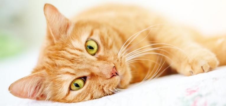 halitose em gatos gato deitado