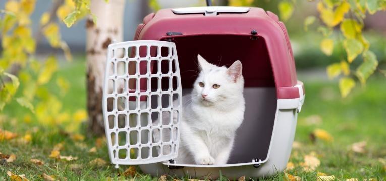 porque e que os gatos adoram caixas gato na transportadora