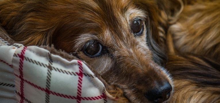vitiligo em caes cão com dermopigmentacao a volta dos olhos