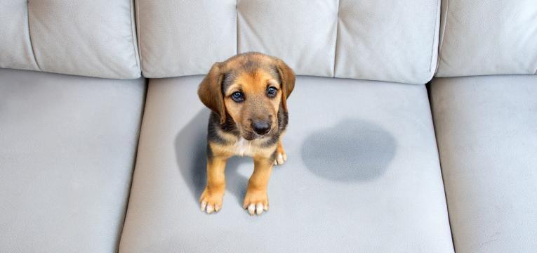 sindrome de ansiedade de separacao em caes cao fez xixi no sofa