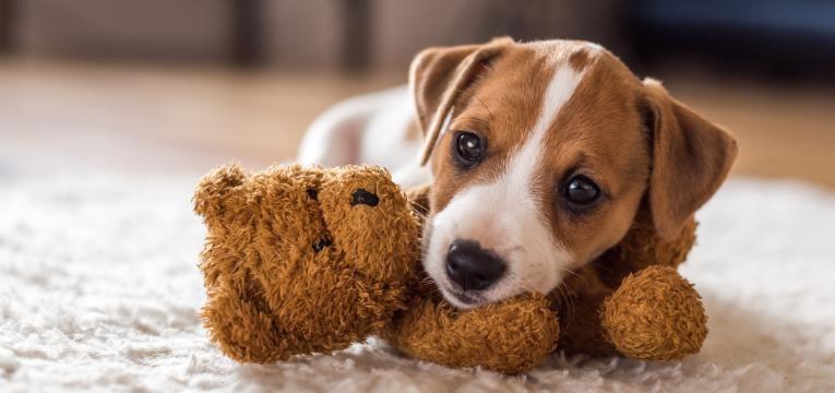 sindrome de ansiedade de separacao em caes cao com brinquedo de companhia