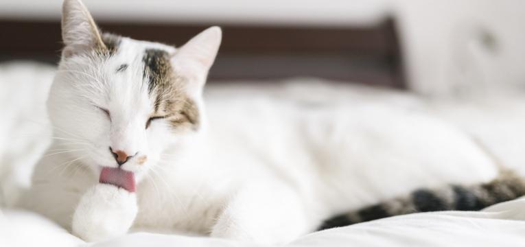 porque e que os gatos se lambem gato branco