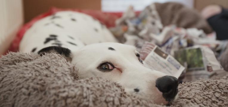 cuidados a ter com uma cadela gravida em trabalho de parto