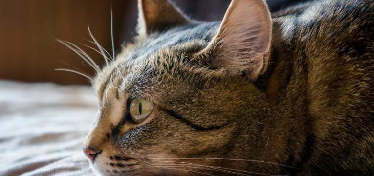 calculos urinarios em gatos gato doente