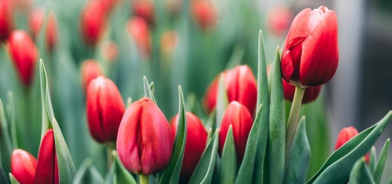 plantas toxicas para gatos tulipa