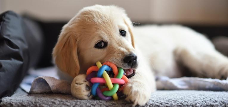 perigos dos ossos de couro cao bebe com brinquedo