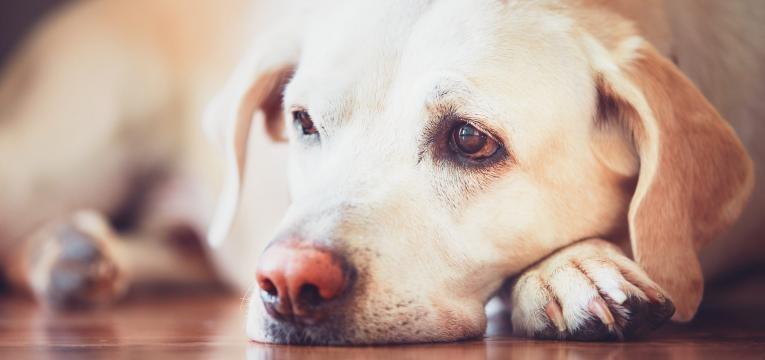 epilepsia em cães