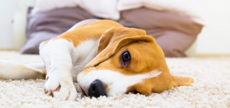 Doenças infeciosas em cães