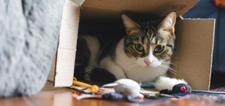 animal sozinho em casa gato dentro da caixa a brincar