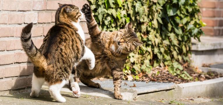 Virus da Imunodeficiencia Felina gatos em luta