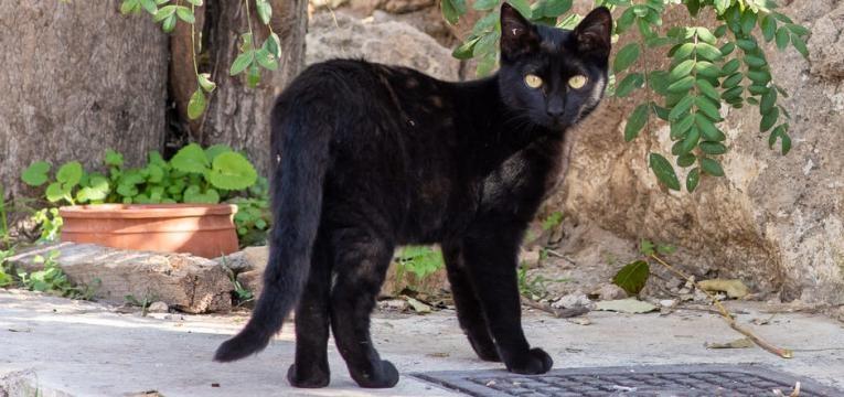 diabetes em gatos gato magro