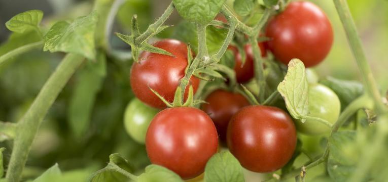 mitos da agricultura biologica tomates biologicos