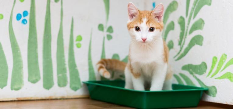 diabetes em gatos gato na areia