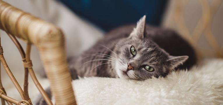 diabetes em gatos pelo do gatp baco