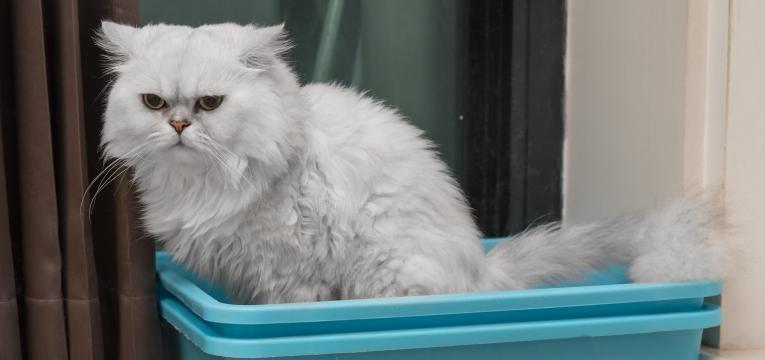calculos urinarios em gatos gato na caixa de areia