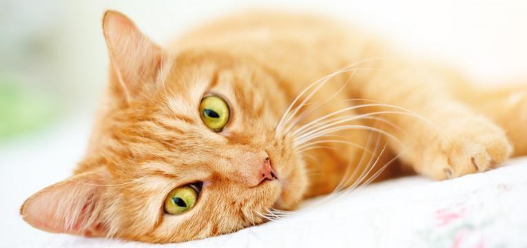 idade dos gatos em idade humana gato deitado de lado